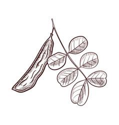 drawing branch carob tree vector image
