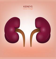 human kidney image vector image