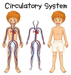 Boy with circulatory system vector
