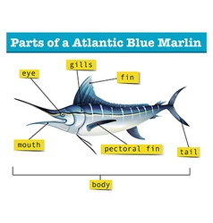 Diagram showing parts of atlantic blue marlin vector