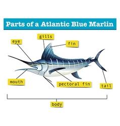 Diagram showing parts of atlantic blue marlin vector image