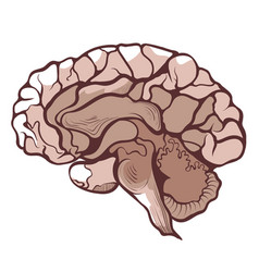 Brain cerebrum encephalon in section anatomical vector