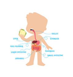 Human anatomy digestive system scheme for kids vector