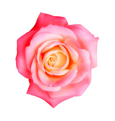 realistic rose on white vector image