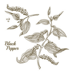 black pepper plant vector image