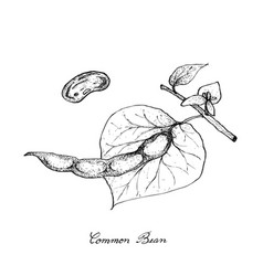 Hand drawn of common bean plants vector