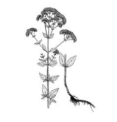 origanum vulgare botanical sketch vector image