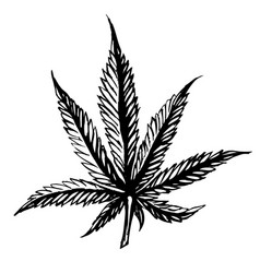 cannabis leaves sketch hand drawn isolated on vector image