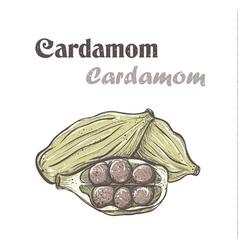Cardamom Spice cardamom color skech Cardamom vector image