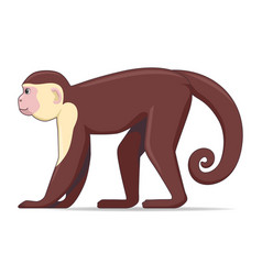 Capucin monkey animal on a white background vector
