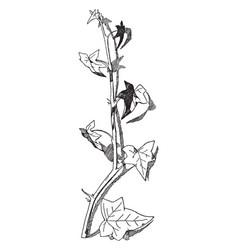 Ivy spray has lanceolate leaves vintage engraving vector