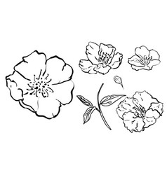 sketch floral botany collection flower drawings vector image