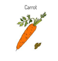 orange carrots vector image
