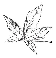 Leaf of american amber tree vintage vector