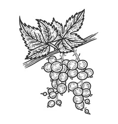Black currant plant with berries sketch vector