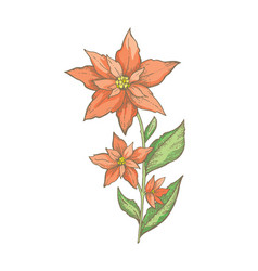 christmas poinsettia flower branch hand drawn vector image