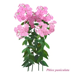 Autumn flower Phlox paniculata vector image vector image
