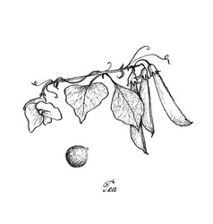 hand drawn of delicious sweet green pea vector image