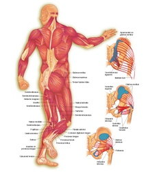 Male body posterior muscles vector image