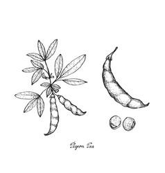 Pigeon pea and cajanus cajan plant vector