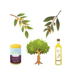 set olives fruit olive oil bottle tree branch vector image