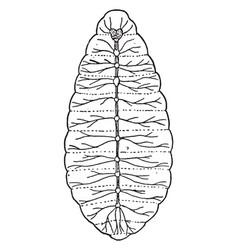 Nerve system of larva vintage vector