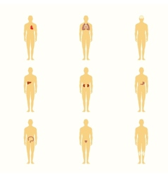 Human figures with internal organs vector image