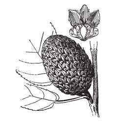 cone yellow birch vintage vector image