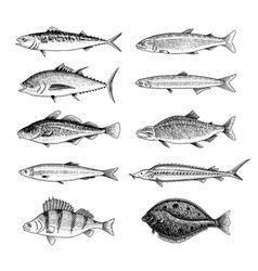 river fish perch or bass seafood for the menu vector image