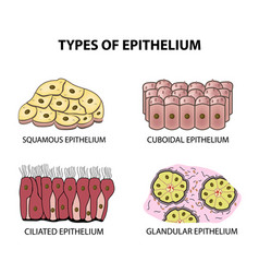 types of epithelium squamous cubic ciliated vector image