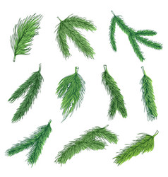 evergreen pine branches color vector image