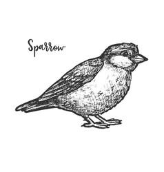 vintage sketch true or american sparrow vector image