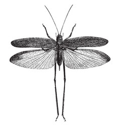 Narrow leaved grasshopper vintage vector