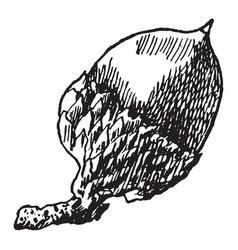 scarlet oak acorn vintage vector image