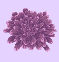 brignt violet colored zinnia flower vector image