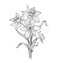 Floral bouquet flower daffodil engraving greetign vector