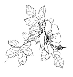rose flower pencil drawing vector image vector image