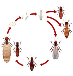 A termite life cycle vector