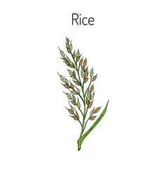 Hand drawn rice ears sketch vector