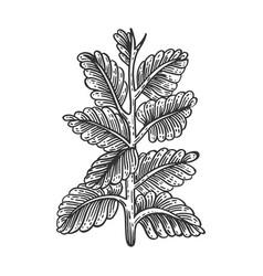 nicotiana tobacco plant sketch engraving vector image