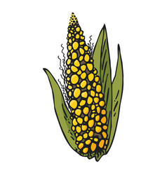 colored corn ear on white background vector image