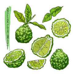 fruit of bergamot orange or kaffir lime vector image