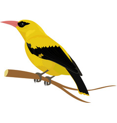 Oriole bird isolated on white vector