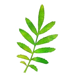 Autumn watercolor rowan leaf vector image