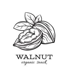 hand drawn walnut vector image