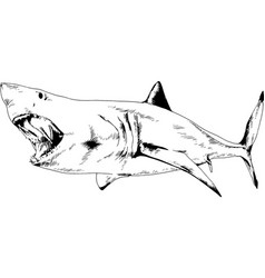 Great white shark attacks with open mouth vector