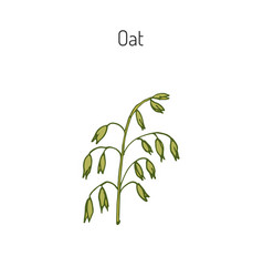hand drawn oats ears sketch vector image