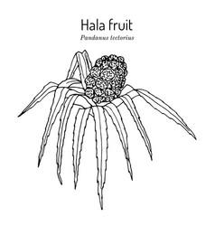 Hala fruit pandanus tectorius edible and vector