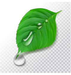 Realistic 3d green leaf with water drops after vector