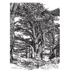Cedar on mount lebanon vintage vector